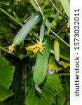 Green Cucumbers In A Greenhous...