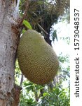 Small photo of Fruit of tropical tree Artocarpus heterophyllus - Jack fruit hanging by a strong stem near the tree trunk. Large green fruit with low spikes on the surface. Green leaves grow at the fetal stalk.