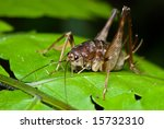 cricket on fern | Shutterstock . vector #15732310