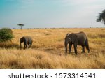 Many African Elephants In The...