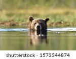 Brown Bear In The Water. Close...