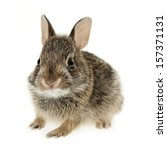 Portrait Of Baby Cottontail...