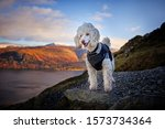 Miniature Poodle Dog Standing...