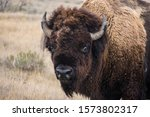 Close Up Of Buffalo Bison ...