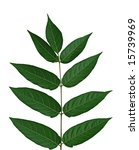 Small photo of Tree of heaven, chinese sumac, ailanthus altissima leaf, isolated on white background
