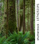 Giant Sitka Spruce Trees And...