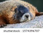 Marmot Rests Head On Large...