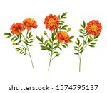 set of orange marigold flowers... | Shutterstock .eps vector #1574795137