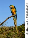 Blue And Gold Macaw Perched On...