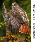 A Red Tailed Hawk Perched On A...