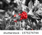 Holly Bush Leaves With A...