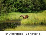 Moose in a pond - stock photo