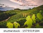 Italian Vineyard And...