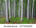 Beech Forest In Western...