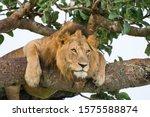 Famous Male Tree Climbing Lion...