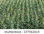 corn field | Shutterstock . vector #157562615