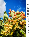Fresh Raw Desert Cactus Fruit...
