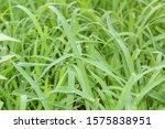 Cymbopogon Martinii Native To...