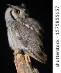 Southern White Faced Owl On A...