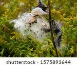 Milkweed Opening In Autumn...