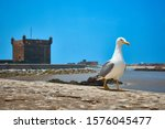 Lonely Proud Seagull Walking O...
