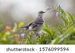 Mockingbird Perched In Flower...