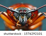Small photo of This is a titan beetle or beetle titanium or Longhorned Beetles taken photo from Thailand.