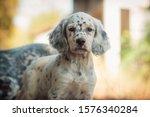 Cute English Setter Puppy...