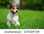 Stock photo jack russell terrier in garden 157639739
