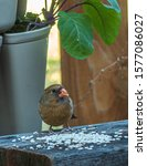 Female Northern Cardinal On...