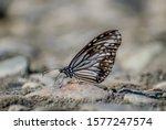 Glassy Tiger  Butterfly ...