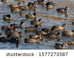 Flock Of American Coots...