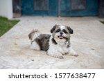 A Shih Tzu Breed Dog Lies On...