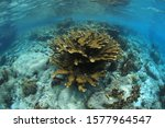 Elkhorn coral (Acropora palmata) underwater in the shallow caribbean sea