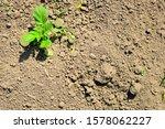 Photography of the potato plant....
