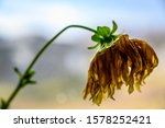 Side View Of Wilted Yellow...