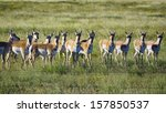 Skittish Pronghorn Antelope...