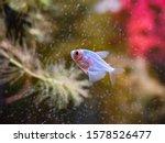 Small photo of Aquarium fish ternary closeup. Bright blue fish ternary caramel. Decorative fish. Genetically modified aquarium fish.