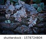 Frosty Fallen Tree Leaves In...
