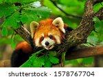 Red Panda Climbs A Tree