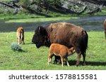 A Bison Calf Nurses Along The...