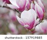 Small photo of Magnolia Alexandrina