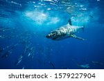 Great white shark guadalupe...