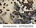 Bees work on a wax cell with...
