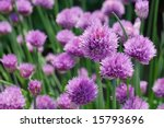 Chive Plants In Full Bloom. ...