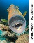 Titan Triggerfish Fish...