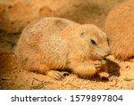 Prairie Dog Eating A Leaf