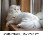 White Persian Cat With Long...
