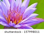 Close Up Pollen Of Purple Lotus ...