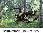 Formidable coarse woody debris in Western Siberian taiga. Season: Summer 2019